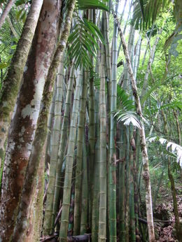Bamboo trees , Jennifer T - June 2011