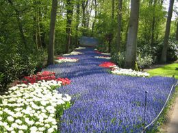 A beautiful path of tulips., Robert B - May 2009