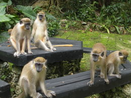 Photo of Barbados Best of Barbados Tour Monkeys at the Wildlife Reserve