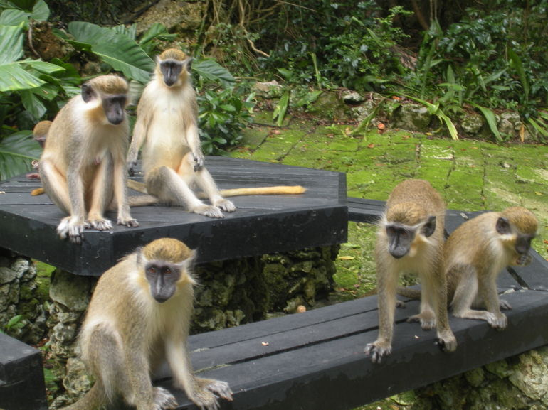 Monkeys at the Wildlife Reserve - Barbados