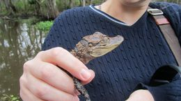 Photo of New Orleans Small-Group Bayou Airboat Ride with Transport from New Orleans Baby Gator
