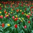 Photo of Amsterdam Keukenhof Gardens and Tulip Fields Tour from Amsterdam Colorful tulips