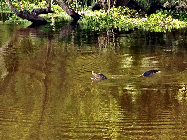 Gator Swim - New Orleans