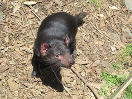 The Tasmanian devil I thought was very cute and active, Nicks - December 2013