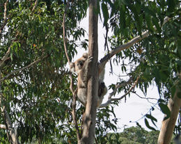 Koalas, kookabura's, and wallabees - oh my! , Alissa - February 2011