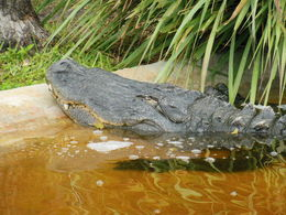 Photo of Everglades National Park Florida Everglades Airboat Adventure and Wildlife Encounter Ticket Alligator