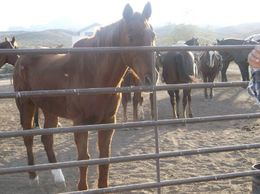 Photo of Las Vegas Wild West Sunset Horseback Ride with Dinner Picking out the horses