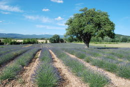 Photo of Avignon Provence Lavender Small Group Half-Day Trip Provence Lavender Small Group Half-Day Trip