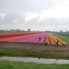 Photo of Amsterdam Keukenhof Gardens and Tulip Fields Tour from Amsterdam Tulip field on the way to the gardens