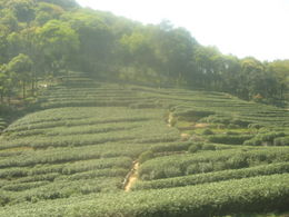 Longjing Tea Plantation outside Hangzhou, as heavenly as the city. Harvesting here happens the old-fashioned way. , Robin W - May 2011