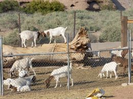 goats that are bred on the ranch , Stephen B - May 2014