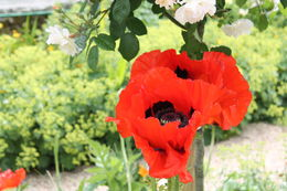 Photo of Paris Giverny and Monet Huge Poppy