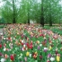 Photo of Amsterdam Keukenhof Gardens and Tulip Fields Tour from Amsterdam Many colorful tulips