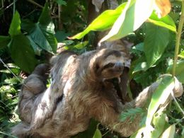 On the 20-minute walk to the beach, we ran into this three-toed sloth near the pathway. He was probably about five feet from us. Very cool! , Meredith S - April 2016