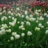 Beautiful white tulips
