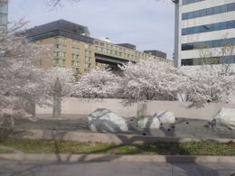 Photo of Washington DC Washington DC Duck Tour Cherry Blossoms