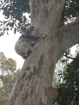Photo of Brisbane Stradbroke Island Day Trip from Brisbane Koala at Amity