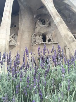 Photo of lavender growing in front of the Passion Facade , CHRIS C - May 2016