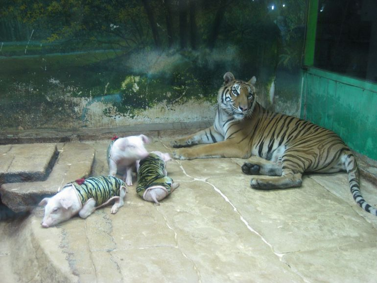 Tiger and piglets! - Pattaya