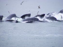 a pod of hump back whales thrilling us. , eyesonchrist - July 2014