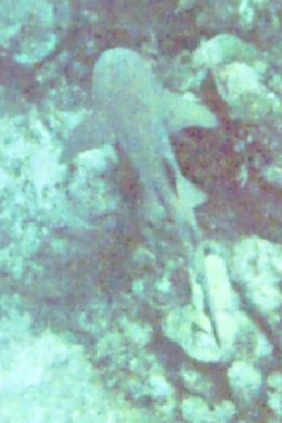 My husband and I saw this juvenille reef shark while swimming at the and quot;hollywood bowl and quot; snorkel spot. , Tara S - July 2011