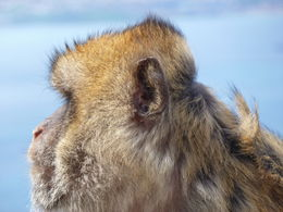 Barbary ape, Top of the Rock , Alison C - April 2013
