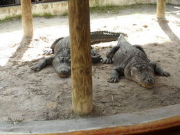 Photo of Miami Miami Super Saver: Everglades Airboat Adventure and Miami City Tour the alligators of the show