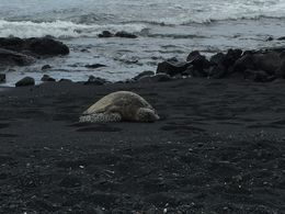 Black sand beach with a turtle ashore. , Leonard R - May 2016