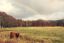 We spent much of the day rainbow chasing, and the cow was happy to comply and making this a truly and quot;Highland and quot; typical photo. , Gina T - April 2014