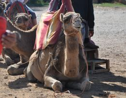 RIDE THE CAMELS. It is definitely worth the one euro and an experience you will never forget! , kands - November 2012