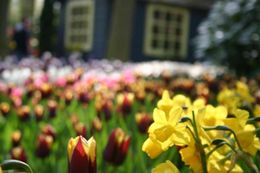 Photo of Amsterdam Keukenhof Gardens and Tulip Fields Tour from Amsterdam Flowers
