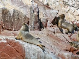 These sea lions don't seem to mind the guano as they get some sun at Ballesta Islands, Tim Leffel - August 2011