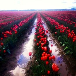 Photo of Seattle Skagit Valley Tulip Festival Day Trip from Seattle skagit.jpeg