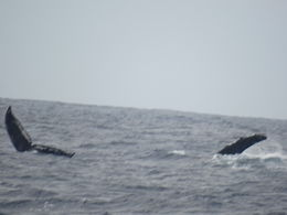 Photo of Oahu Oahu Whale Watching Cruise Thar she BLOWS!