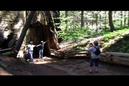 Photo of San Francisco Yosemite National Park and Giant Sequoias Trip Walking through a tree
