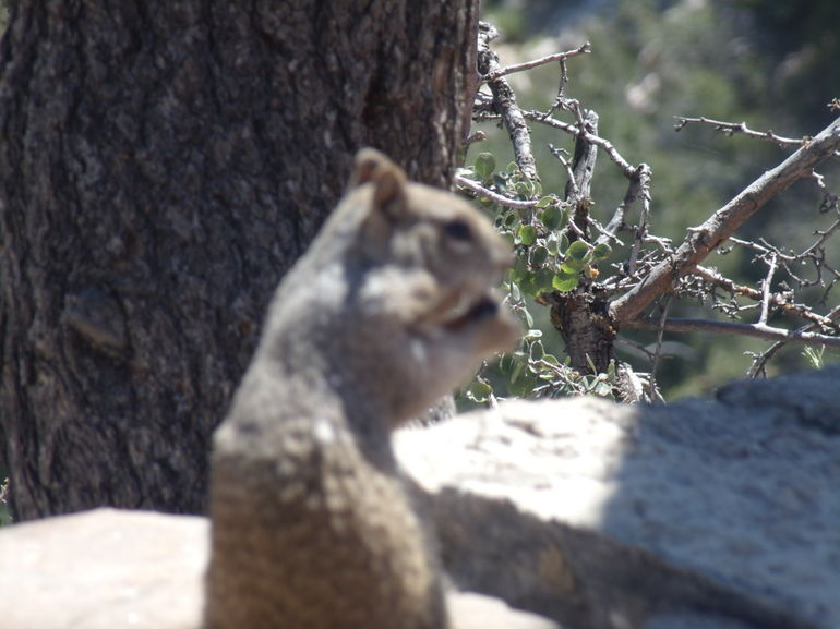 A squirrel - Las Vegas