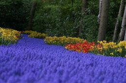 Photo of Amsterdam Keukenhof Gardens and Tulip Fields Tour from Amsterdam More Tulips