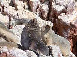 Candid family photo: sea lions at Ballesta Islands showing their best sides to the camera, Tim Leffel - August 2011
