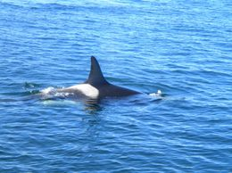 There were so many whales around us, that our cameras could barely keep up!, Stephanie G - October 2009