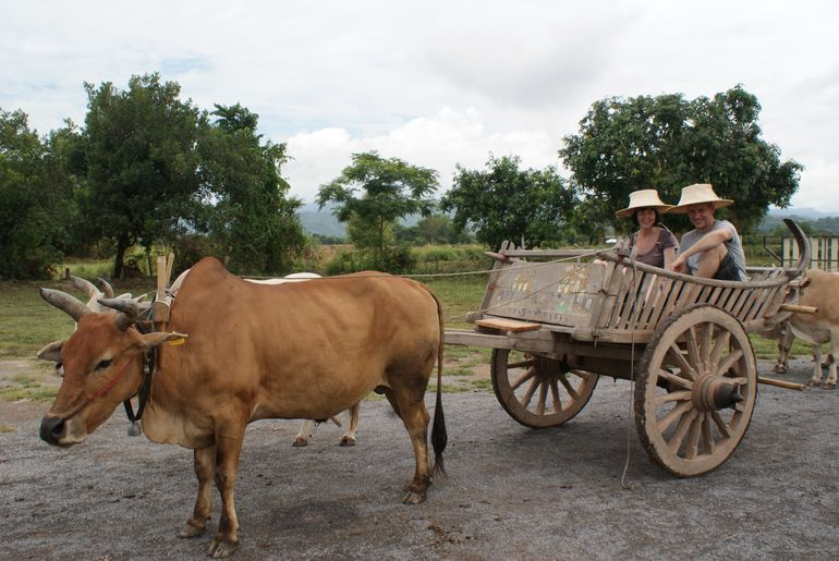 Ox ride in the country - Bangkok