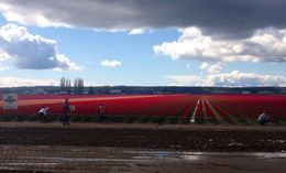 Photo of Seattle Skagit Valley Tulip Festival Day Trip from Seattle skagit3.jpeg