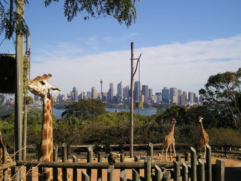 Taronga Zoo - Giraffes and Sydney skyline - Sydney
