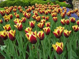 Photo of Amsterdam Keukenhof Gardens and Tulip Fields Tour from Amsterdam Two-Tone Tulips