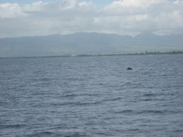 Photo of Oahu Oahu Whale Watching Cruise Whale
