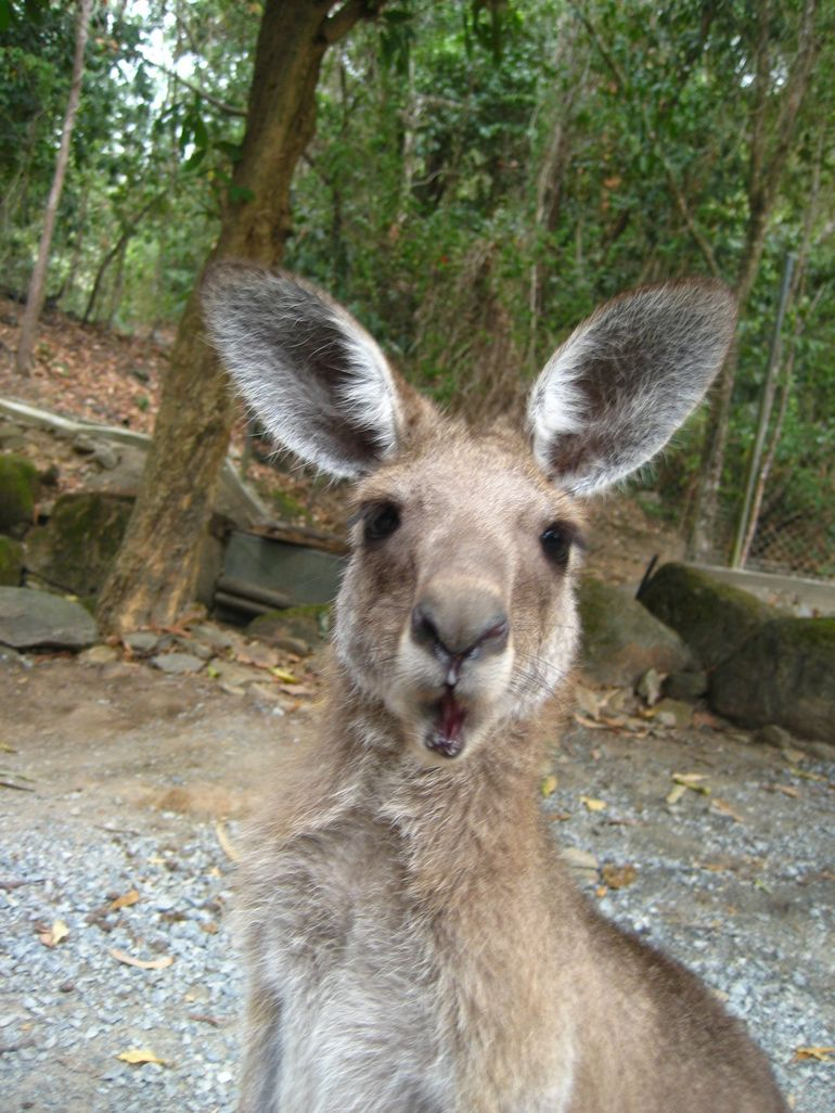 Kangaroo surprise - Cairns & the Tropical North