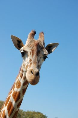 Photo of Tampa Busch Gardens Tampa Bay Curious Giraffe