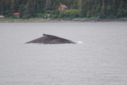 Lots of humpback whales out in June! , Allison H - June 2014