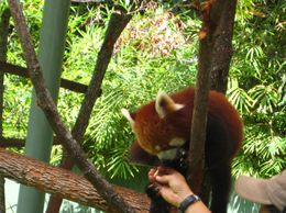 He kept trying to grab the zookeeper's hand for more grapes. - September 2009