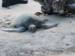 Turtle sunning itself on beach , Christine D - October 2014