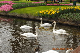 Photo of Amsterdam Keukenhof Gardens and Tulip Fields Tour from Amsterdam Swans in the Pond